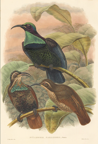 Ptilorhis Paradisea. A Monograph of ther Paradiseidae or Bower-Birds. Richard Bowdler Sharpe.