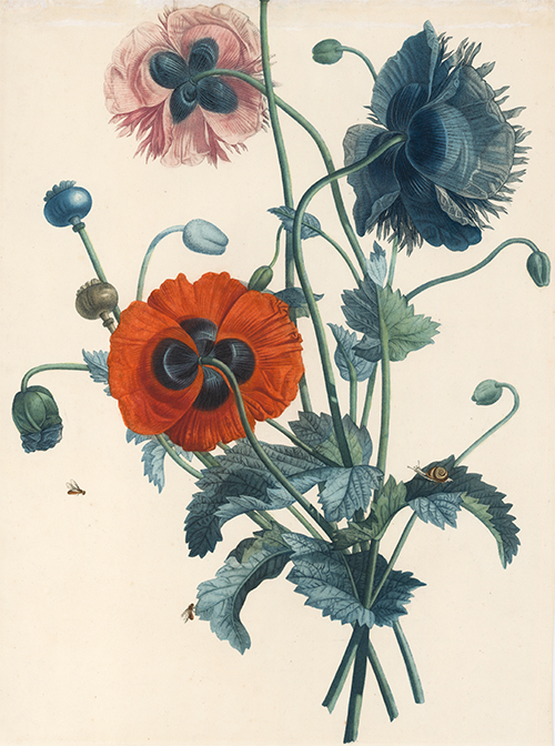 Poppies. Collection des Fleurs et des Fruits, peints d'apres nature. Jean Prevost.