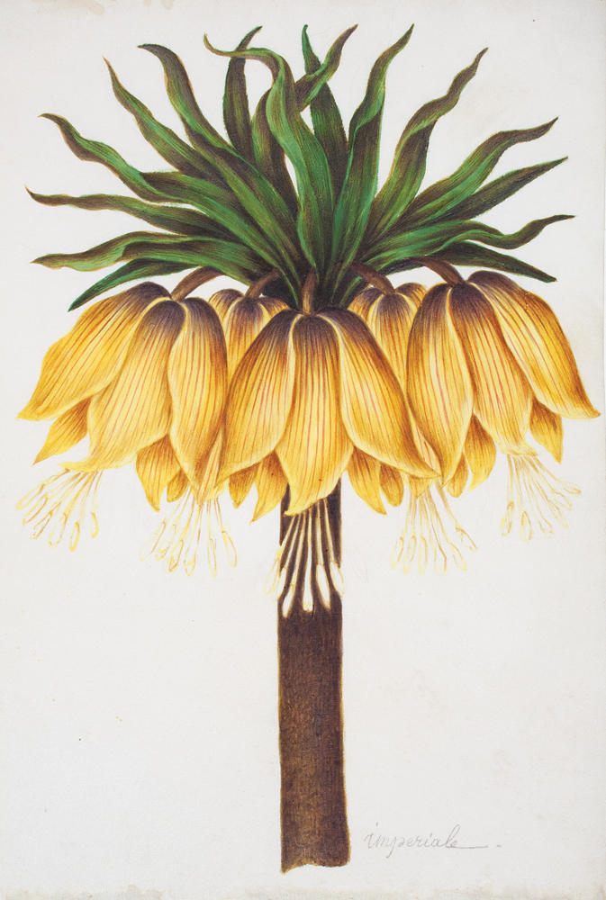 Fritillaria Imperiale. Nicolas Robert, or School of.