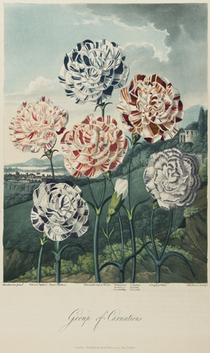 Group of Carnations. Temple of Flora. Dr. Robert Thornton.