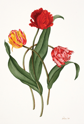 Parrot Tulips [Yellow, Red, Pink]. Jack Freborg.