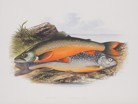 British Fresh-Water Fishes. The Rev. W. HOUGHTON.