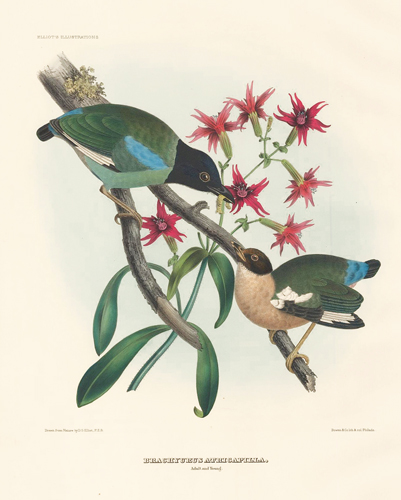 Brachyurus Atricapilla (Adult and Young). A Monograph of the Pittidae, or, Family of Ant-Thrushes. Daniel Giraud Elliot.
