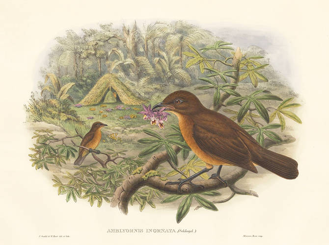 Amblyornis Inornata. A Monograph of the Paradiseidæ or Birds of Paradise, and Ptilonorhynchidæ, or Bower-Birds. John Gould, Richard Bowdler Sharpe.