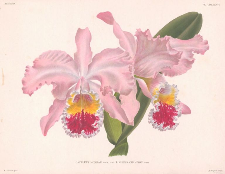 Cattleya Mossiae. Lindenia Iconographie des Orchidees. Jean Jules Linden.