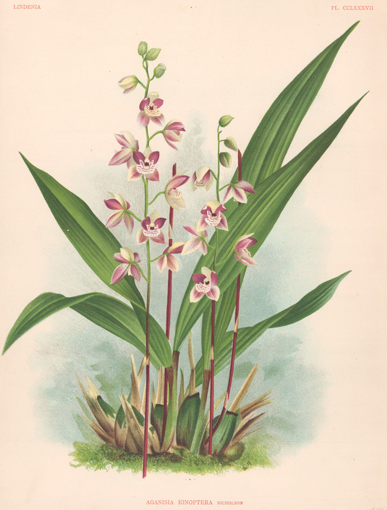 Aganisia Ionoptera. Lindenia iconographie des Orchidees. Jean Jules Linden.
