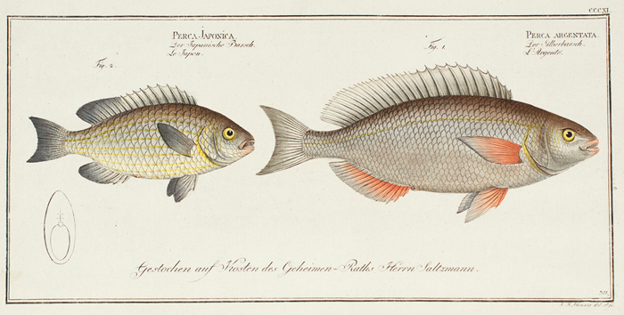 Perca Japonica and Perca Argentata. Ichthyologie, ou Histoire Naturelle, Generale et Particulaire. Marcus Eleiser Bloch.