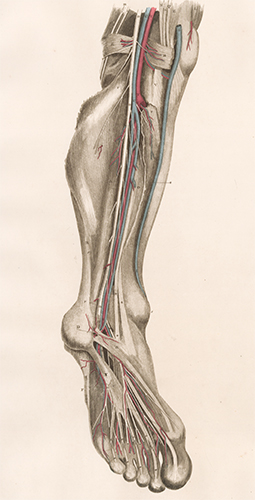 Leg - blood vessels and nerves. Anatomical Plates of the Human Body. John Lizars.