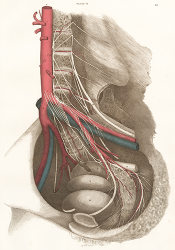 Female Pelvis - blood vessels and nerves. Anatomical Plates of the Human Body. John Lizars.