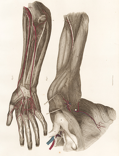 Forearm and Hand - blood vessels and nerves. Anatomical Plates of the Human Body. John Lizars.