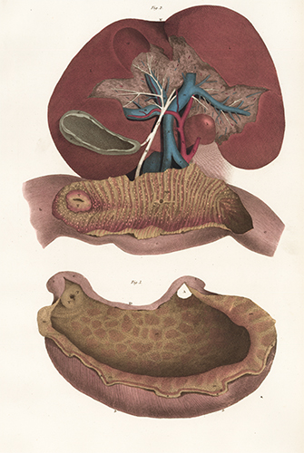 Liver, gall bladder, stomach and duodenum. Anatomical Plates of the Human Body. John Lizars.
