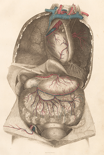 Viscera thorax and abdomen with blood vessels and nerves. Anatomical Plates of the Human Body. John Lizars.