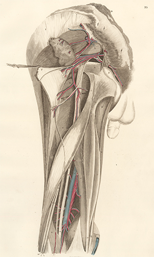 Pelvis dorsum - blood vessels and nerves. Anatomical Plates of the Human Body. John Lizars.