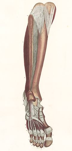 Muscles of leg and foot, some ligaments of foot. Anatomical Plates of the Human Body. John Lizars.