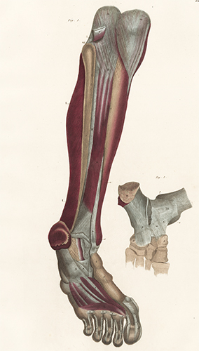 Leg and foot - muscles and ligaments. Anatomical Plates of the Human Body. John Lizars.