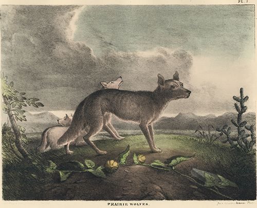 Prarie Wolves. The Cabinet of Natural History and American Rural Sports. Thomas Doughty.