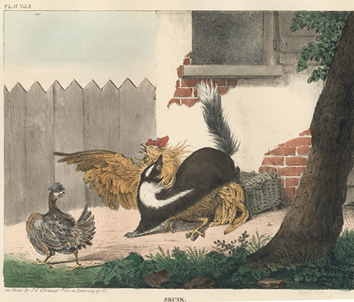 Skunk. The Cabinet of Natural History and American Rural Sports. Thomas Doughty.
