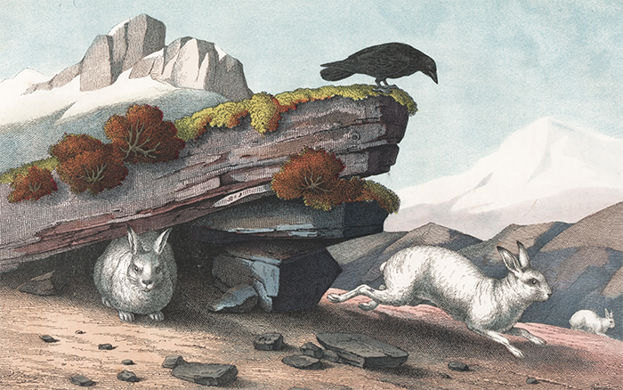Alpine Hare. The Instructive Picture Book. Adam White, M H. H. J.