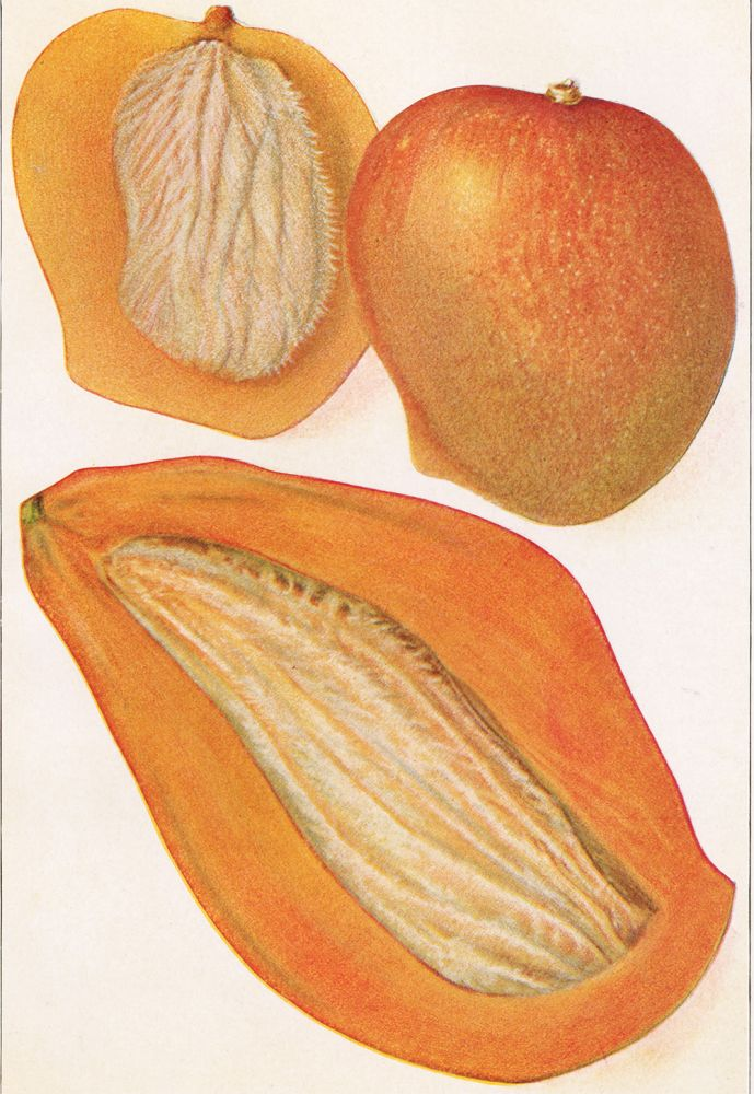 Two Types of Mangoes. The Grocer's Encyclopedia. Artemas Ward.