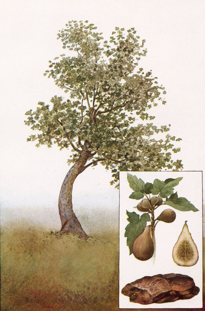 Fig Tree and Fruit. The Grocer's Encyclopedia. Artemas Ward.