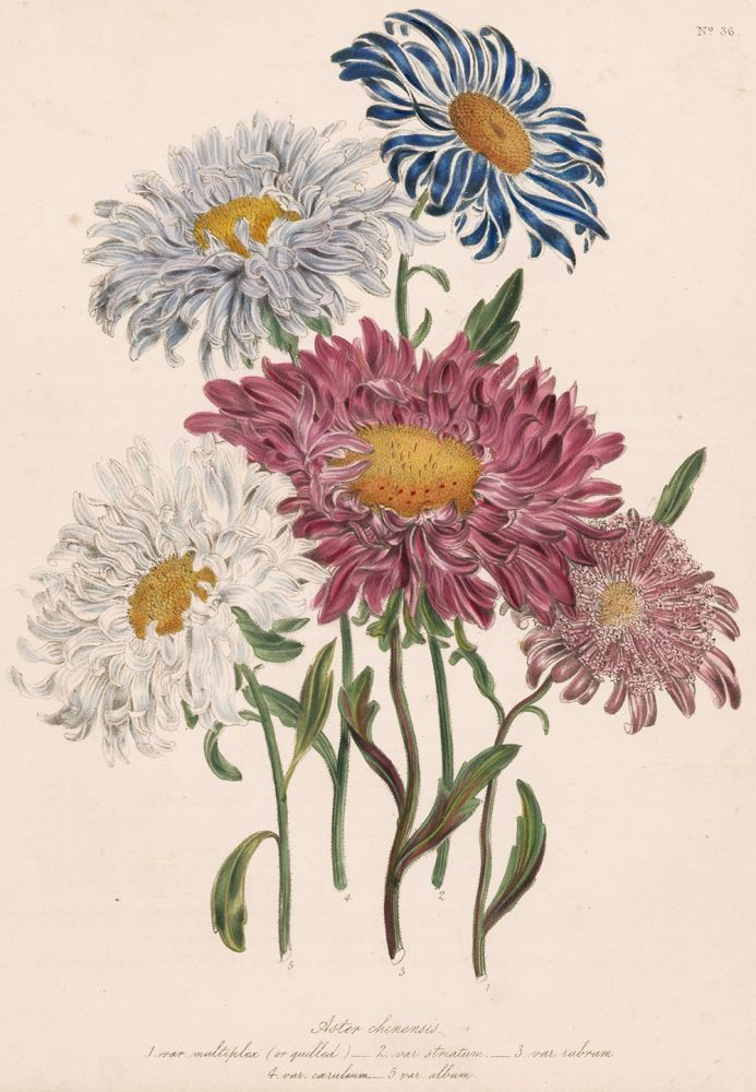 Aster chinensis... The Ladies' Flower Garden of Ornamental Annuals. Jane Loudon.
