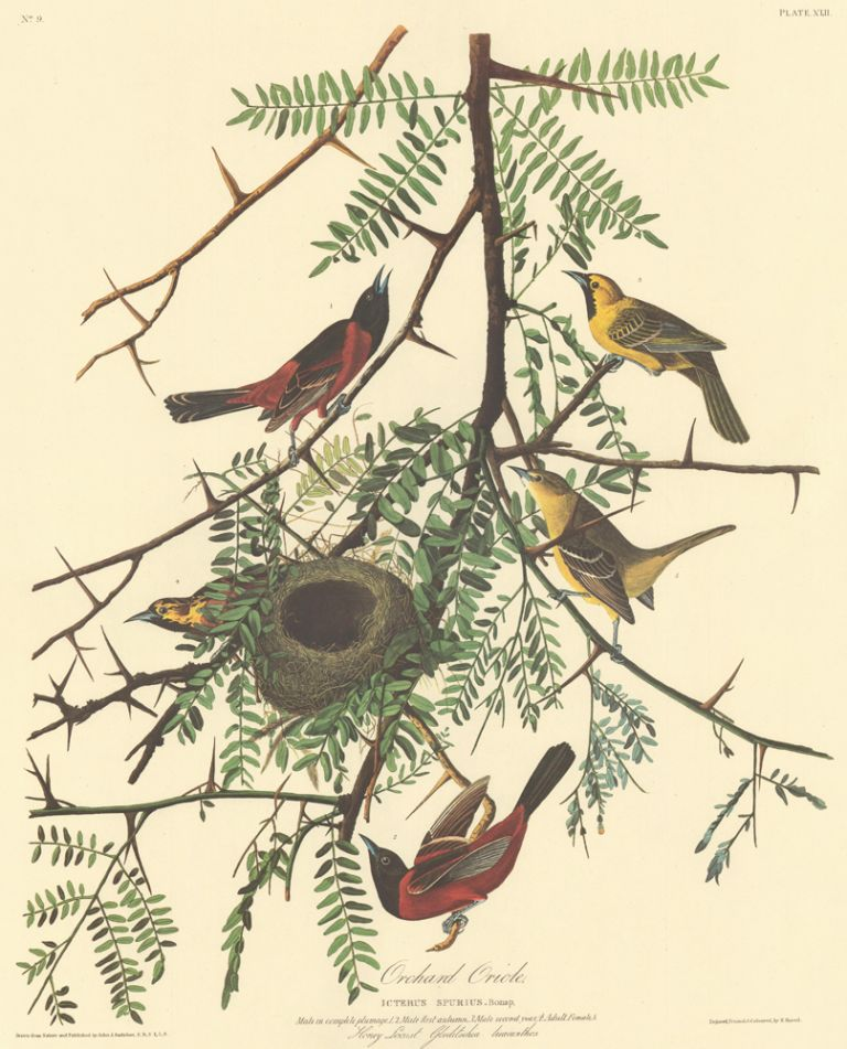 Orchard Oriole. John James Audubon.