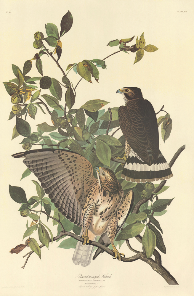 Broad-winged Hawk. John James Audubon.