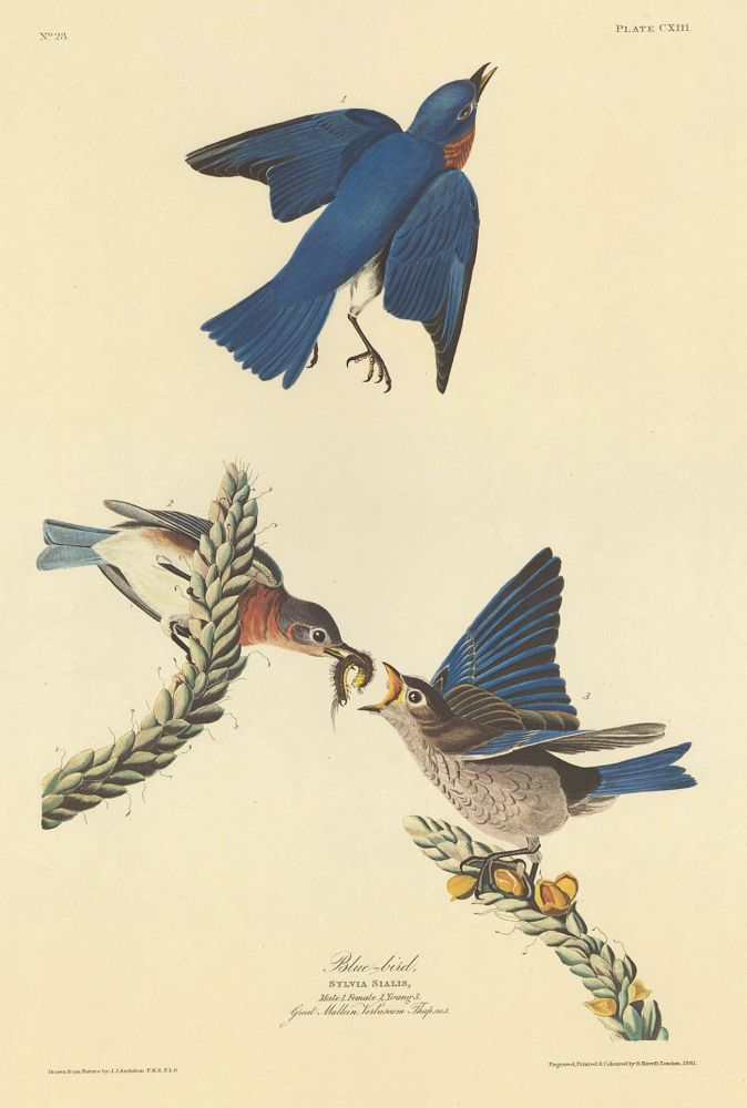 Blue-bird. John James Audubon.