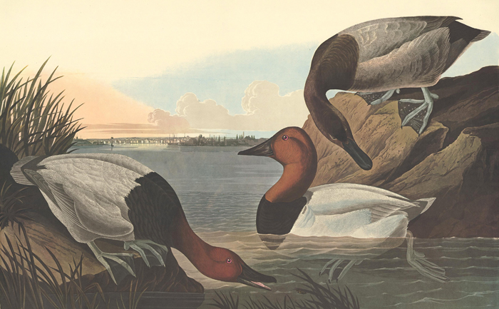 Canvas Backed Duck. John James Audubon.