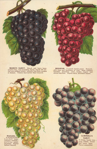 Grape Varieties. American School.