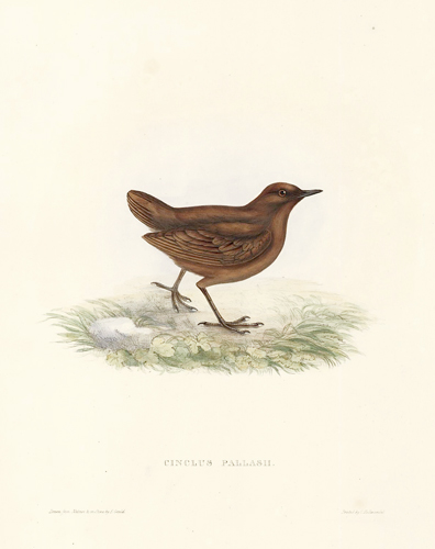 Cinclus Pallash. A Century of Birds hitherto Unfigured from the Himalaya Mountains. John Gould.