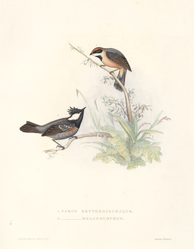 1. Parus Erythrocephalus. 2. Parus Melanolophus. A Century of Birds hitherto Unfigured from the Himalaya Mountains. John Gould.