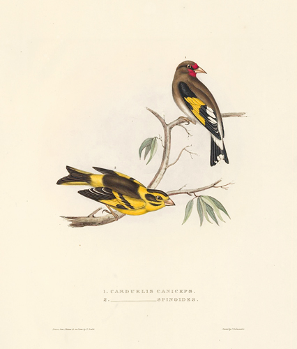 1. Carduelis Caniceps. 2. Carduelis Spinoides. A Century of Birds hitherto Unfigured from the Himalaya Mountains. John Gould.