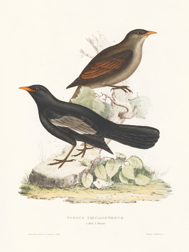 Turdus Poecilopterus. A Century of Birds hitherto Unfigured from the Himalaya Mountains. John Gould.
