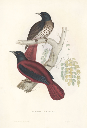 Pastor Traillii. A Century of Birds hitherto Unfigured from the Himalaya Mountains. John Gould.