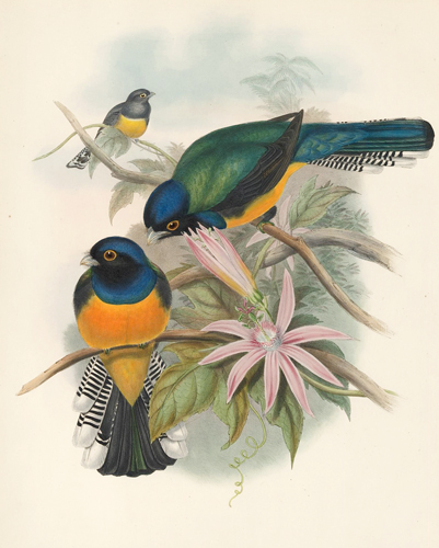 Trogon Ramoniana. A Monograph of the Trogonidae or Family of Trogons. John Gould.