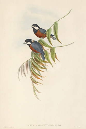 Parus Castaneoventris. The Birds of Asia. John Gould.