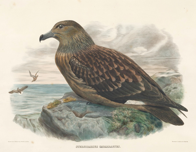 Stercirarius Catarractes. The New and Heretofore Unfigured Species of the Birds of North America. Daniel Giraud Elliot.