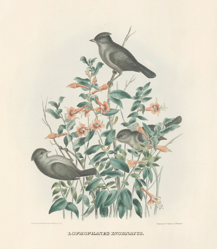 Lophophanes Inornatus. The New and Heretofore Unfigured Species of the Birds of North America. Daniel Giraud Elliot.