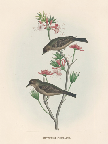 Contopus Pertinax. The New and Heretofore Unfigured Species of the Birds of North America. Daniel Giraud Elliot.