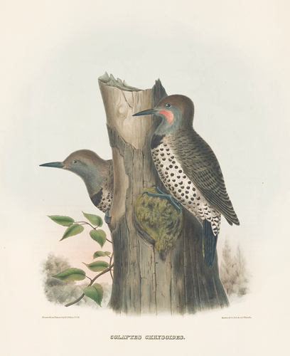 Colaptes Chrysoides. The New and Heretofore Unfigured Species of the Birds of North America. Daniel Giraud Elliot.