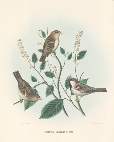 Passer Domesticus. The New and Heretofore Unfigured Species of the Birds of North America. Daniel Giraud Elliot.