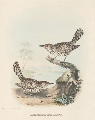 Campylorhynchus Affinis. The New and Heretofore Unfigured Species of the Birds of North America. Daniel Giraud Elliot.