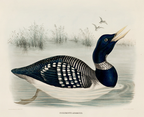 Colymbus Adamsii. The New and Heretofore Unfigured Species of the Birds of North America. Daniel Giraud Elliot.