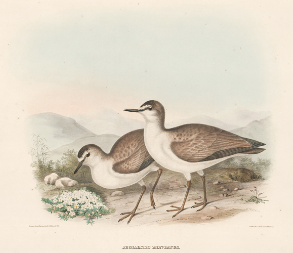 Aegialitis Montanus. The New and Heretofore Unfigured Species of the Birds of North America. Daniel Giraud Elliot.