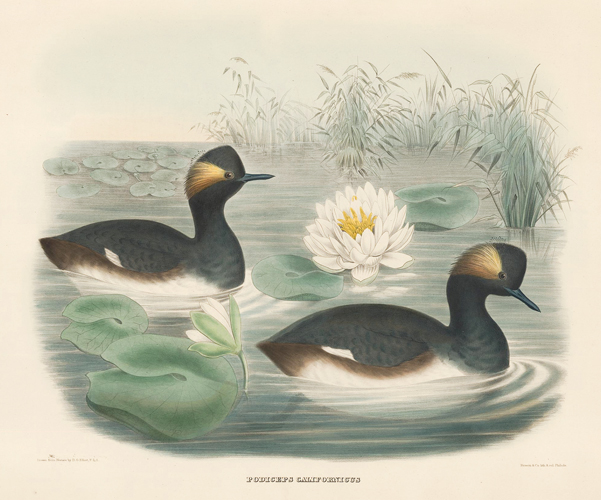 Podiceps Californicus. The New and Heretofore Unfigured Species of the Birds of North America. Daniel Giraud Elliot.