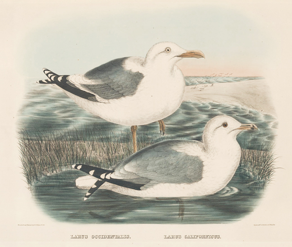 Larus Californicus. The New and Heretofore Unfigured Species of the Birds of North America. Daniel Giraud Elliot.
