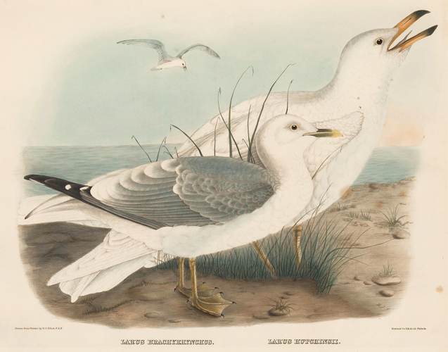 Larus Brachyrhynchus and Larus Hutchinsii. The New and Heretofore Unfigured Species of the Birds of North America. Daniel Giraud Elliot.