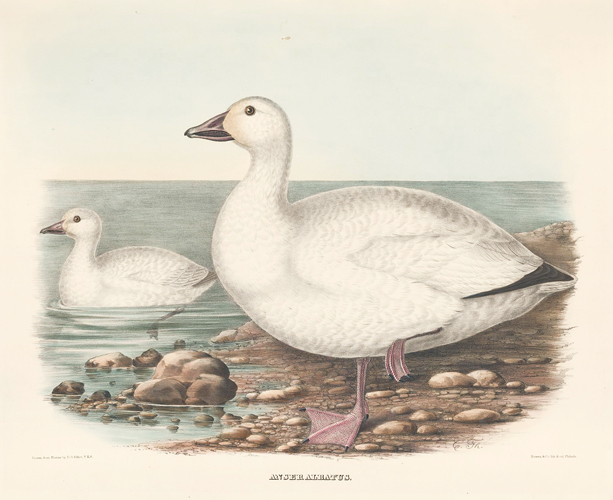 Anser Albatus. The New and Heretofore Unfigured Species of the Birds of North America. Daniel Giraud Elliot.
