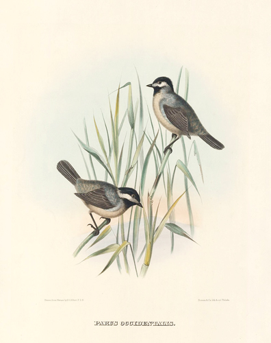 Parus Occidentalis. The New and Heretofore Unfigured Species of the Birds of North America. Daniel Giraud Elliot.